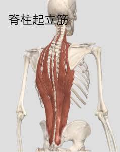 プランクの効果①体幹の強化 脊柱起立筋