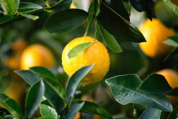 レモン水の効果を引き上げる豆知識 レモンは国産がグッド