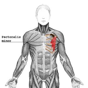 ダンベルプルオーバーで鍛えられる部位②小胸筋(大胸筋深部に位置する筋肉)