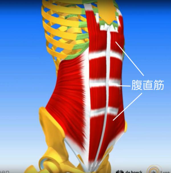 体幹屈曲の動作で腹直筋が鍛えられる