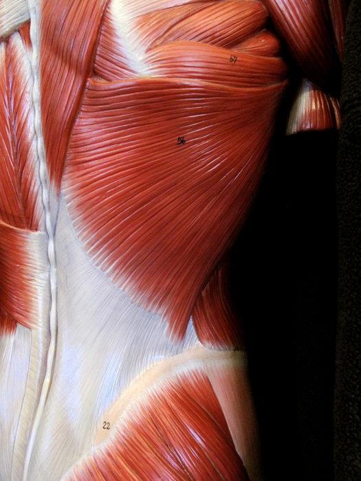 背中ってどんな筋肉?