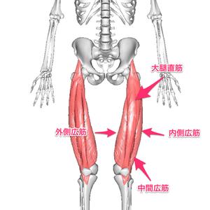 大腿直筋の位置と作用