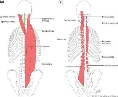 脊柱起立背筋(背中の中央にある筋肉)