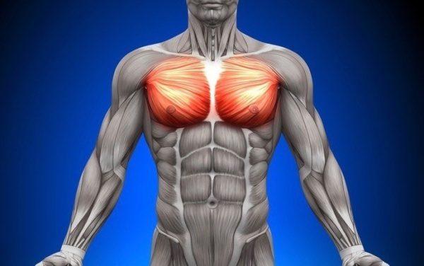 「大胸筋」の概要