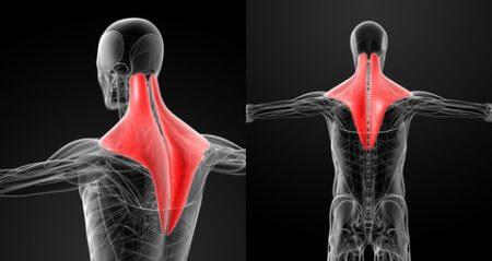 上半身の主要な筋肉⑥「僧帽筋」
