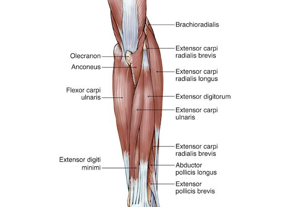 「前腕」は約20種類近い多くの筋肉によって構成されている