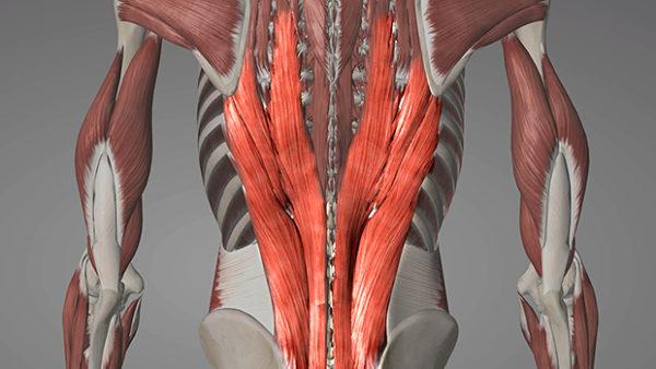 スティッフレッグデッドリフトの対象筋:「脊柱起立筋」