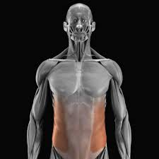 「腹斜筋」の概要について