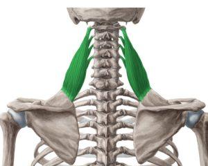 肩こりに関係する部位③「肩甲挙筋」