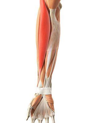「腕橈骨筋」の作用・概要
