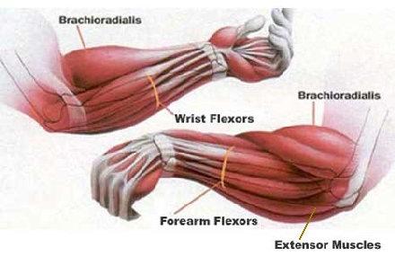 「腕橈骨筋」の作用・働き