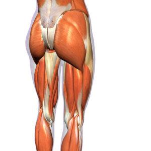 お尻の筋肉「臀筋群」